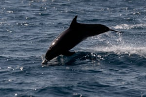 A dolphin in the Pacific Ocean in Monterrico, Guatemala