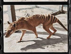 Melbourne, Australia. A screengrab from the National Film and Sound Archive of Australia shows a colourised picture of the last-known surviving Tasmanian tiger from footage taken in 1933