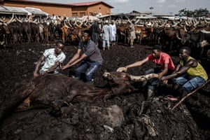 A cow is rescued from the mud at Kara cattle market in Lagos