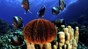 Coral, urchin, and the Easter Island butterflyfish, or white-tip butterflyfish, is a species of subtropical fish in the family Chaetodontidae. It is endemic to the seas around Easter Island, 2,200 miles off the coast of mainland Chile.