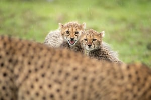 A mother cheetah and her two cubs in Olare Motorogi conservancy, Kenya