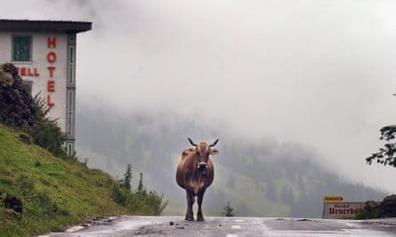 Cow on Swiss alpine road