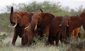 The Trump administration is lifting a federal ban on the importation of body parts from African elephants shot for sport.