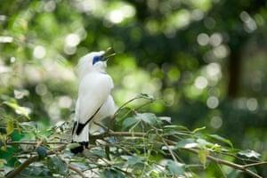 White Bali myna bird
