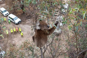 A koala that survived the recent Australian bushfires at Gelantipy, Victoria, sits in a eucalyptus tree before being visually inspected for its health. V