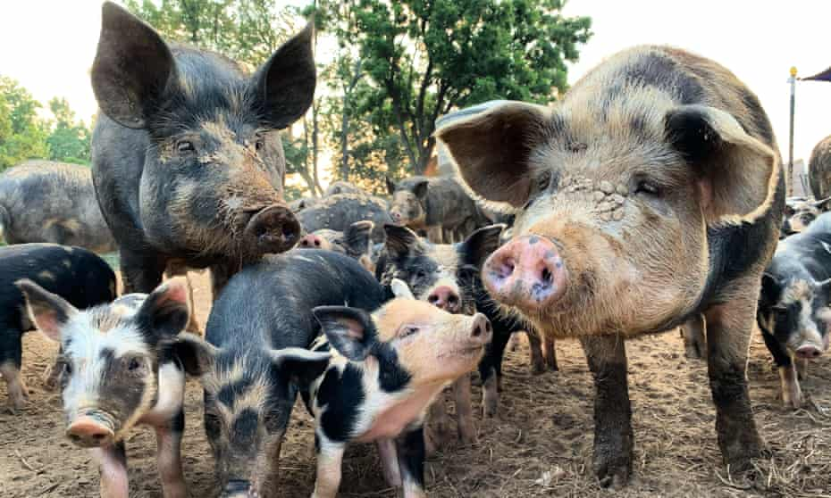 Pigs and piglets by a forest