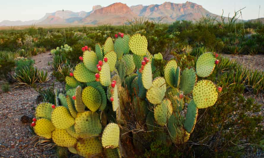 a prickly pear cactus at sunrise in Texas, Chisos Mountains, US