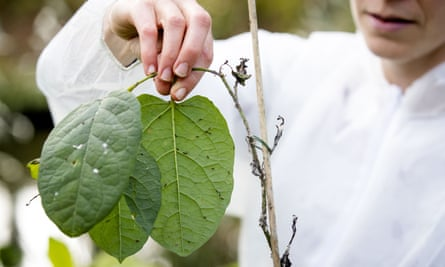 Japanese knotweed psyllids are released to control the invasive plant