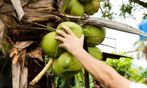 Green fresh coconut peeling. At first step the man using heavy knife to chop coconut bunch from coconut tree