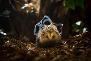 Hedgehogs have declined massively in farmland, so sensitively managed wildlife-friendly gardens have now become increasingly important