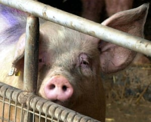 Many pigs are raised in hellish conditions.