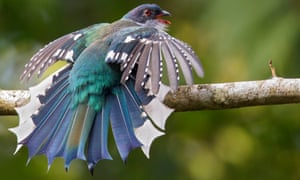 Bird of paradise: the fabulously feathered tocororo, Cuba's national bird.