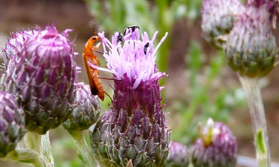 A soldier beetle peeps over the top of a thistle and dining pollen beetles.