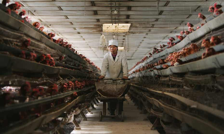 A Chinese poultry farm. China stepped up surveillance after bird flu outbreaks.