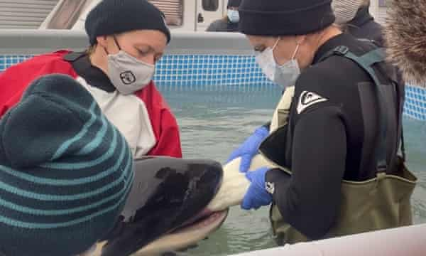People help to feed Toa, the baby orca, at a specially built pool.