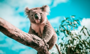 Koalas could be helped by microbe transplants that enable them to consume a different type of food.