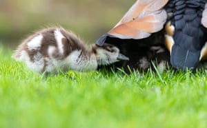 An Egyptian gosling and its parent in a meadow in Schwetzingen, Germany. These geese were considered sacred by the ancient Egyptians.