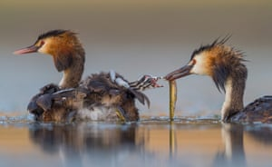 A family of great crested grebes on a lake in Cáceres, Spain