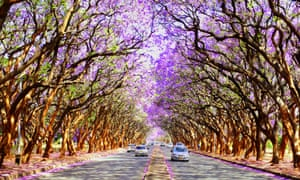 Blooming Jacaranda trees on the streets of Harare, Zimbabwe.