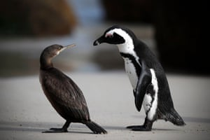 An African penguin (right) interacts with a Cape Cormorant on Boulders Beach in Cape Town, South Africa