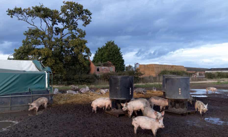 A pig farm in Norfolk.