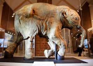 Lyuba, a 42,000-year-old baby mammoth, on display at the Museum of the World Ocean, Kaliningrad, Russia.