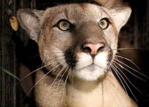 Mountain lion P-81 has a kinked tail shaped like the letter 'L' and only one descended testicle, a condition known as cryptorchidism.
