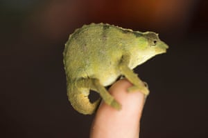 A rhampholeon, or dwarf chameleon, found during the expedition in another forest on nearby Mount Socone.