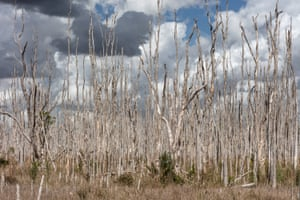Ghost forest by The Everglades. East side of the Everglades in Weston, Florida.