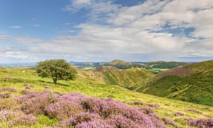 Heather on Long Mynd, Shropshire.