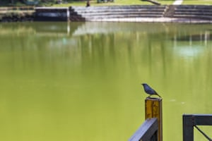 A male plumbeous water redstart by a lake in Dharamsala, India