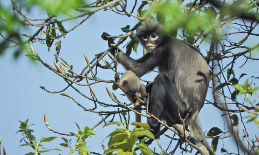 The newly described Popa langur is likely to be classified as critically endangered.