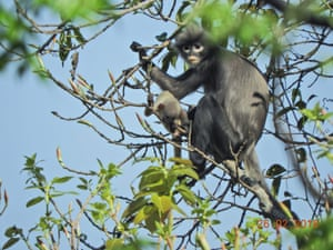 An adult female and juvenile Popa langur (Trachypithecus popa) in the crater of Mount Popa, Myanmar