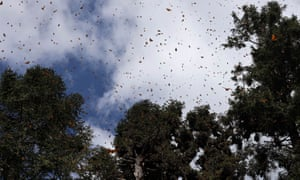 Monarch butterflies fly between trees at the Sierra Chincua butterfly sanctuary on a mountain in the Mexican state of Michoacan, Mexico.