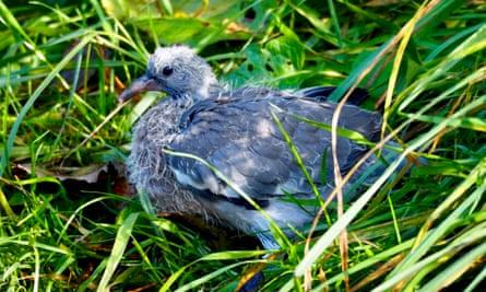 baby woodpigeon