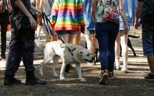 Drug detection dogs walk among festivalgoers at Splendour in the Grass