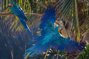 A blue-and-yellow macaw (Ara ararauna) flies in Caracas, Venezuela