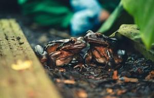 Mountain chicken frog breeding programme