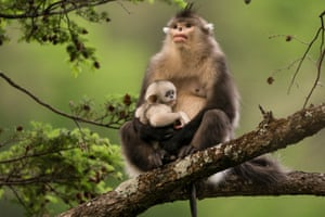 A snub-nosed monkey in Yunnan province, south-west China