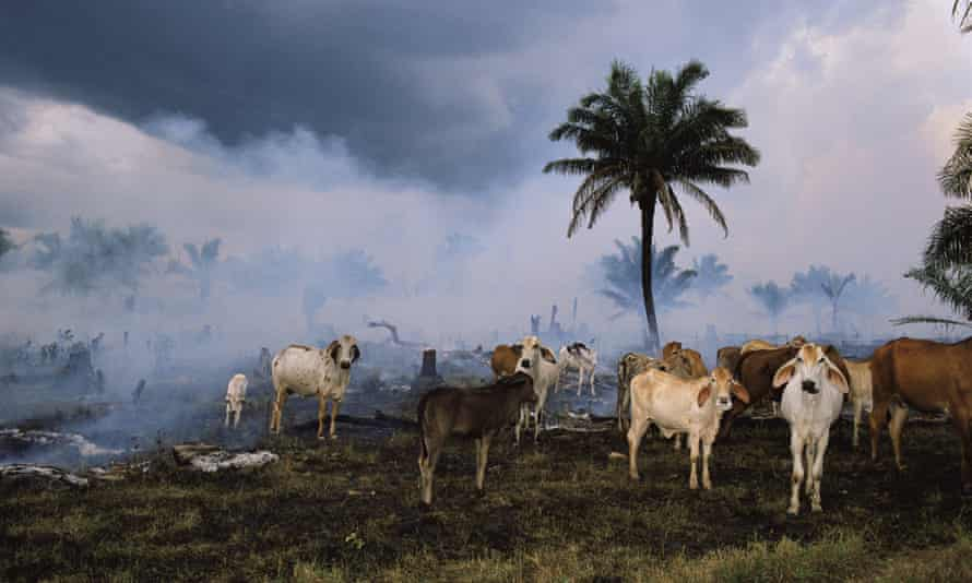 Cattle in the Amazon rainforest.