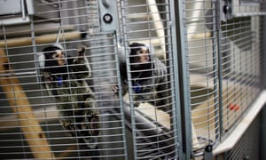 Marmoset monkeys used in animal research in Britain.