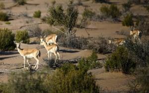 Sand gazelles at Al-Marzoom hunting reserve, United Arab Emirates