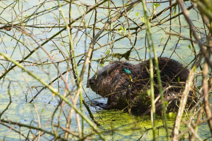 A male beaver after being reintroduced at Cropton Forest in North Yorkshire