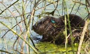 Male beaver in pond at Cropton Forest