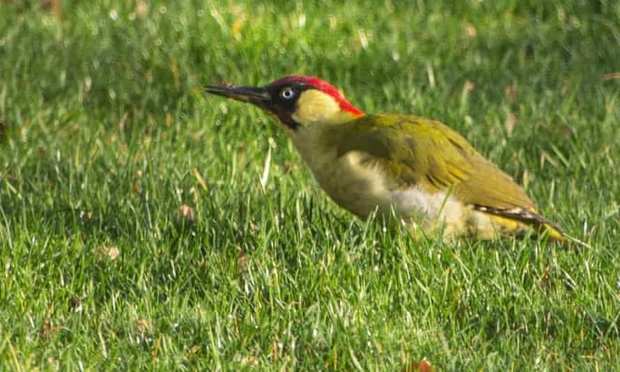 Green woodpecker in Simon Ingram's garden