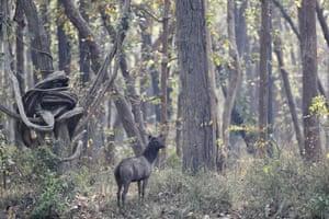 Sambar deer at Bardiya National Park, Nepal.