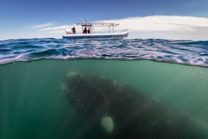 A southern right whale and her calf swim under a whale-watching boat off the Valdés peninsula, Patagonia, an important breeding ground for the endangered mammals.