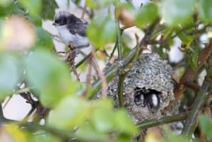 A chick, at around eleven to twelve days old, the first one to leave the nest, sits in the rose-bush