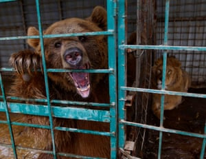 Najaf, Iraq A lion and a bear are caged in a zoo, closed to prevent the spread of Covid-19