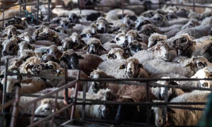 Sheep at a farm near Madrid